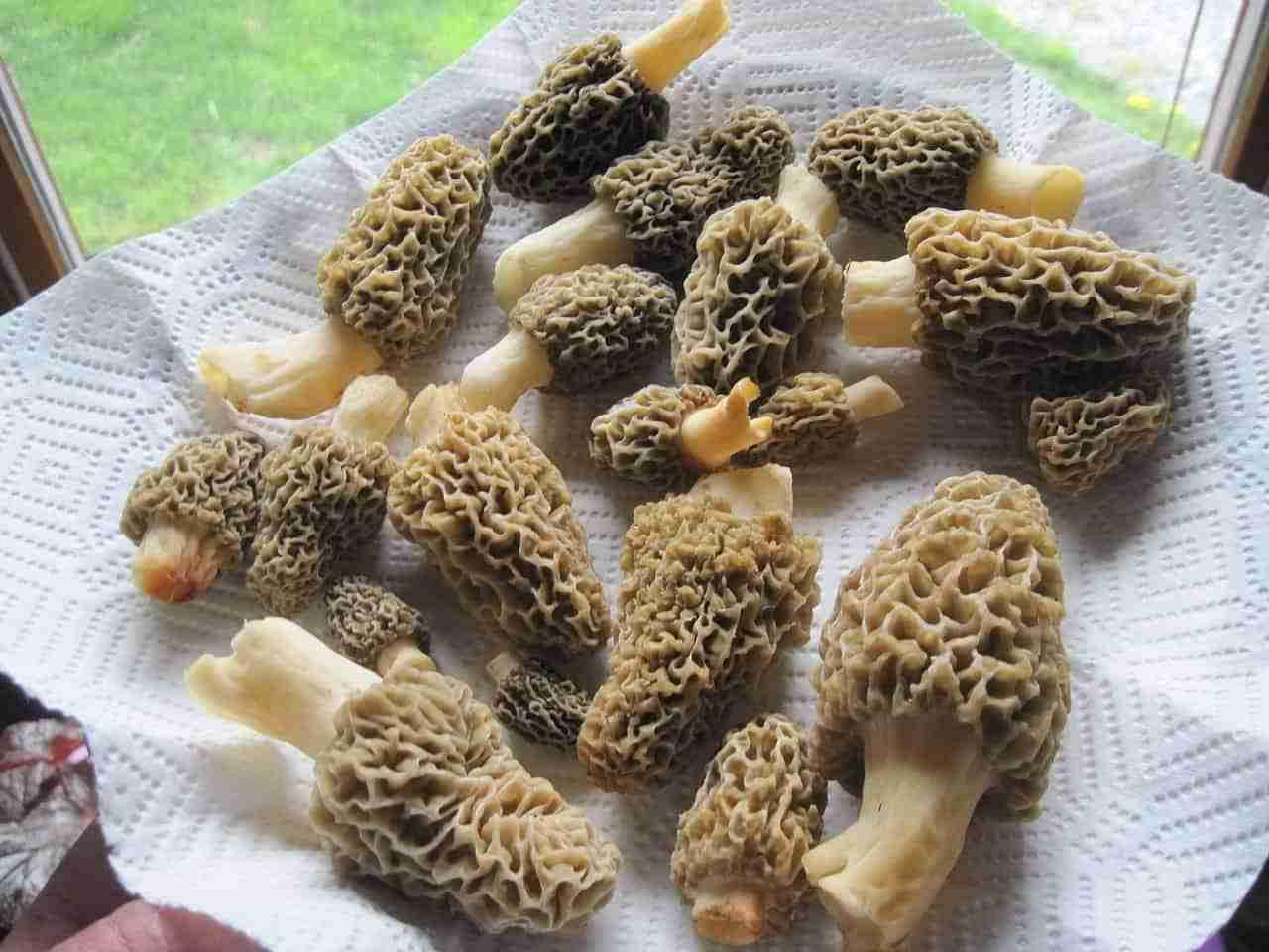 Common mushrooms - morels