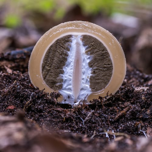 Stinkhorn witches egg