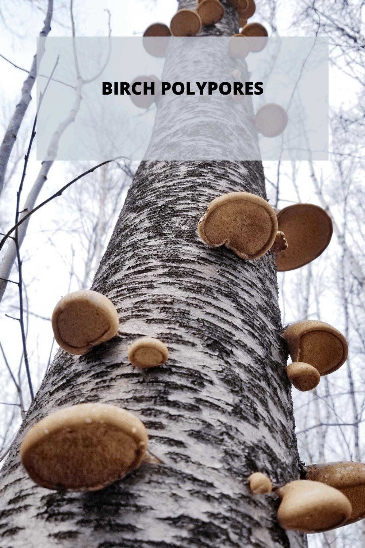 Birch-Polypores-Pinterest